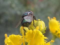 DSC02804 (alfredoeloisa) Tags: animalia arthropoda diptera calliphoridae insecta hexapoda pterygota chrysomyamegacephala neoptera endopterygota brachycera orientallatrinefly chrysomya muscomorpha