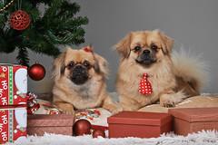 Jolamyndataka hundafimi_2016_934 (Stefán H. Kristinsson) Tags: jolamyndataka christmas christmassession hundur hundar hundafimideild nikond800 tamron2875mm jólamyndataka hrfí