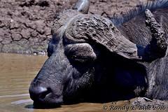 Hluhluwe-Imfolozi 086 (REBlue) Tags: southafrica kwazulunatalprovince hluhluweimfolozipark capebuffalo blackdeath bigfive