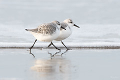 Sanderling (Shane Jones) Tags: sanderling wader seabird bird wildlife nature nikon d500 200400vr tc14eii