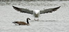 Canada Goose and Great Black-backed Gull...6O3A5129A (dklaughman) Tags: gull canadagoose goose rehobothbeach delaware bird
