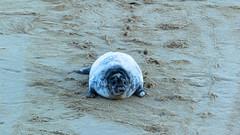 Grey Seal (CJPhotography UK) Tags: wildlife nature natur natural animal mammal seal greyseal uk beach outdoors sand norfolk horseygap horsey pup baby babyanimal water sea canon shade youngster cute