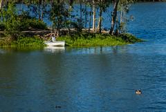 Boating at the lake (randyherring) Tags: ca california santaclaracountyparks canadagoose vasonalakecountypark nature losgatos afternoon goose park lake recreational outdoor brantacanadensis unitedstates us americancoot