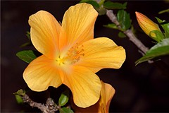 Amarillo (eliblau1) Tags: pistil exotic season floral beautiful color tropical blooming garden closeup outdoors petal flower flora nikon nature