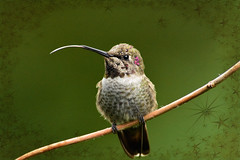 meep meep  💙 (sugarbear1956) Tags: netartii annas hummingbird annashummingbird paololivornosfriends abigfave don'tworrybehappy simplysuperb nikonflickraward ngc coth otw magicunicornverybest oiseaux bird ie saariysqualitypictures npc wild nationalgeographicwildlife exoticimage expression extraordinarilyimpressive flickrsbest greatphotographers trolled cubism colibri