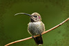 meep meep  ;0 (sugarbear1956) Tags: netartii annas hummingbird annashummingbird paololivornosfriends abigfave don'tworrybehappy simplysuperb nikonflickraward ngc coth otw