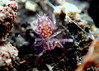 Springtail Dicyrtominae sp. nov. (3mm) Janssens F & Dobbs B, 2016 (Bugldy99) Tags: collembola springtail symphypleona animal arthropod arthropoda hexapod hexapoda outdoors nature macro macrocloseup