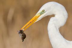 Grote zilverreiger (Marvandae) Tags: grotezilverreiger vogel bird