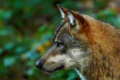 Wolf 7022