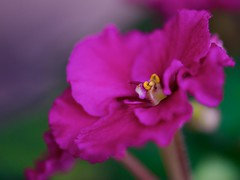 African Violet Blossom (imageClear) Tags: beauty nature macro closeup violet africanviolet purple lovely aperture nikon d600 105mm imageclear flickr photostream