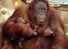 orangutan Lea and baby Krefeld JN6A1095 (j.a.kok) Tags: orang orangoetan orangutan primaat primate azie asia aap ape monkey lea krefeld mammal zoogdier animal motherandchild moederenkind baby