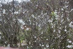 IMG_7863 (armadil) Tags: plum plumtree plumtrees flower flowers plumflowers