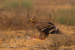 Steppe eagle (Aquila nipalensis) with prey (Irtiza Bukhari) Tags: nationalgeographic bathroom bbc wallpaper nature beauty canoneos70d wildbird wildlife wwf pakistan brown aggressive aggressiveness one ground steppe eagle feathers blood prey breakfast birdsofpakistan wildlifeofpakistan bukhari irtiza