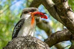 The Fisher King (kathiemt1) Tags: kookaburra goldfish fishing australianbird hunting birdlife birdwatcher