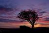 Tree at Holwell Tor on Dartmoor (petehem) Tags: holwelltor dartmoor devon lonetree sunset dusk hemington
