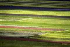 _UM23252nsR (Foto Massimo Lazzari) Tags: fioritura lenticchie papaveri fiordaliso fiori