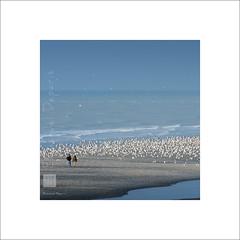 never Alone (Emmanuel DEPARIS) Tags: emmanuel deparis nikon d810 le touquet paris plage nord pas de calais haut france manche mer beach sand seagul mouette sable canche