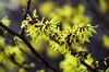 Witch Hazel (eric robb niven) Tags: ericrobbniven witch hazel flowers dundee