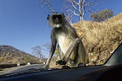 _DSC2472_DxO (Alexandre Dolique) Tags: d810 inde udaipur rajasthan singe monkey attaque attack india