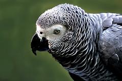 DSC_0139 African Gray Parrot (tsuping.liu) Tags: outdoor organicpatttern birds animal nature natureselegantshots naturesfinest photoborder perspective pattern