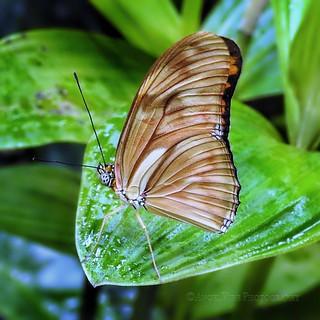 Orange Longwing Butterfly