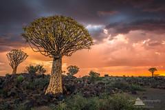 Quiver Tree Forest, Keetmanshoop, Namibia (www.fourcorners.photography) Tags: quivertreeforest aloedichotoma aloe kokerboom keetmanshoop koës gariganusfarm namibia peterboehringerphotography lee03ndsoftgrad
