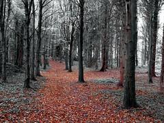Autumnal leaves (Marty's White Suit) Tags: art british blackandwhite flintshire uk landscape northwales outdoors picsart selectivecolour woods