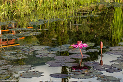 Pink lotus in a pond