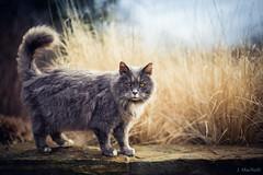 Vincenzo (Jen MacNeill) Tags: longwoodgardens cat pet feline cats longhaired hair grasses winter animal portrait beautiful