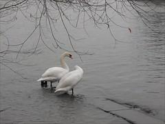 Immer beieinander ... (flixx-ak) Tags: flixxakoffenbachammainhessen deutschland germany natur nature tier animal fauna bird schwäne 2017 r0021450 winter