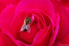 Minding Her Bee-siness (Vie Lipowski) Tags: bee rose pinkrose insect bug flower pink pollinator beeautiful wildlife nature macro