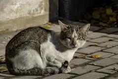 Moscow tramp (Lyutik966) Tags: cat animal eyes tail paw wool sidewalk light street moscow