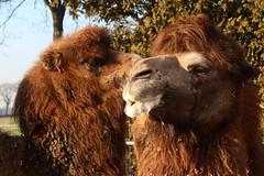 Josephine & Napoleon (excellentzebu1050) Tags: camels2017februarypets camelus camel camelusbactrianus animal animals animalportraits closeup farm outdoor coth5