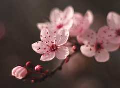 spring approaches (Johnson Cameraface) Tags: 2017 february winter olympus omde1 em1 micro43 meyeroptikgorlitzoreston 50mm m42 f18 manualfocus johnsoncameraface blossom flower tree bloom signsofspring petals stamen