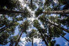 Nature (::: M @ X :::) Tags: verde pinos pine pinetrees wood woods forest bosque aldea laaldea colón naturaleza fav10 fav20 fav30 fav40 fav50 fav60 fav70 fav80