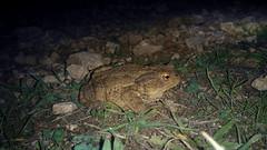 Le Crapaud commun (Bufo bufo) (Didier Auberget Photographie) Tags: macro vertebrata vertébré amphibia amphibien lissamphibia lissamphibien salientia batracien anura anoures neobatrachia bufonidae bufo bufobufo crapaud crapaudcommun commontoad toad