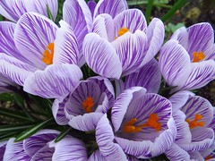 04/03/2017 Stripes (Pat's_photos) Tags: flower crocus 365
