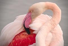 Toilette du flamant (Marc ALMECIJA) Tags: falmant rose great flamingo pink camargue nature natur wildlife bird oiseau