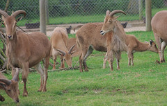 D09960.  Barbary Sheep. (Ron Fisher) Tags: barbarysheep sheep zoo animal kessingland lowestoft africaalive suffolk eastanglia england gb greatbritain uk unitedkingdom europe pentax pentaxkx