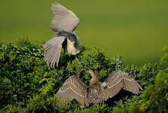 It Takes A Village - Black Crowned Night Herons (Mark Schwall) Tags: heron birds newjersey nikon bravo adult nj juvenile rookery blackcrownednightheron southernnewjersey nycticoraxnycticorax wadingbirds heronry feedingbehavior d300s nikkor600mmf4ais