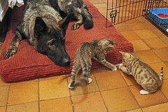 Marley and the kittens (christina.marsh25) Tags: pet animals cat kitten kittens germanshepherd marley firstimpression gsd firstmeeting flickrfriday