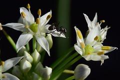 20150827_059_4 (まさちゃん) Tags: 花 アリ 蟻 白い花 雄蕊 雄しべ 雌蕊 雌しべ