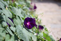 Whatever flower by whatever man (maikrofunky) Tags: plants flower canon plantas bokeh flor lila violeta oneshot notreatment 35m 600d fundaciolaplana