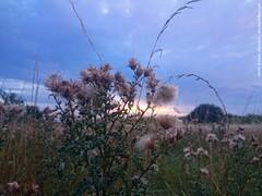 Sunset and flower (dksesh) Tags: trees wild plants reed nature grass walking freshair sony reserve fitness twigs bushes hounslow seshadri sesh harita naturewalking sonyxperia dhanakoti haritasya seshfamily sonyxperiaz2 hounslownature fireshwildnessair