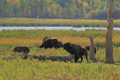 Bison scratching on log (steveboer.com) Tags: wood nationalpark log buffalo alberta plains elkisland bison animalplanet scratching