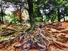 Root Down. Nara, Japan. (kinkicycle.com) Tags: nature bicycle japan cycling bikes bicycles nara custom surly crosscheck