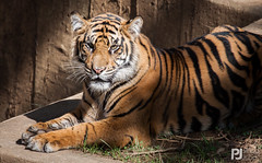 Sumatran Tiger - Smithsonian Zoo (philrdjones) Tags: washingtondc smithsonian washington tiger september bigcat sumatran 2014 smithsonianzoo