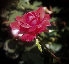 Petals in September (MissyPenny) Tags: usa flower rose garden petals pennsylvania buckscounty hotpink bristolpennsylvania commonwealthpa
