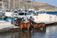 Horses in Mgarr Harbour (Chris J Hart) Tags: horse marina harbour gozo mgarr ghajnsielem gajnsielem