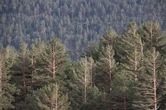 Scots pine (ramosblancor) Tags: madrid trees plants naturaleza nature landscape plantas rboles paisaje forests bosques pinussylvestris scotspine pealara sierradeguadarrama pinosilvestre
